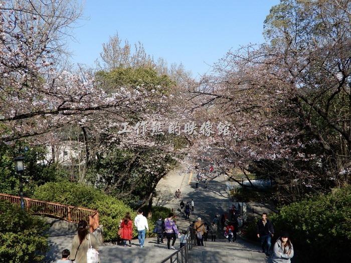 日本-大阪公園。階段を昇って見上げたら、なんと桜がいっぱい!さすがに驚きました