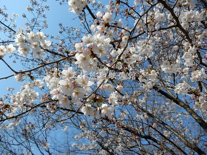 日本-大阪公園。桜の花びらを近くに撮ってみました~綺麗ですね(*´▽`*)