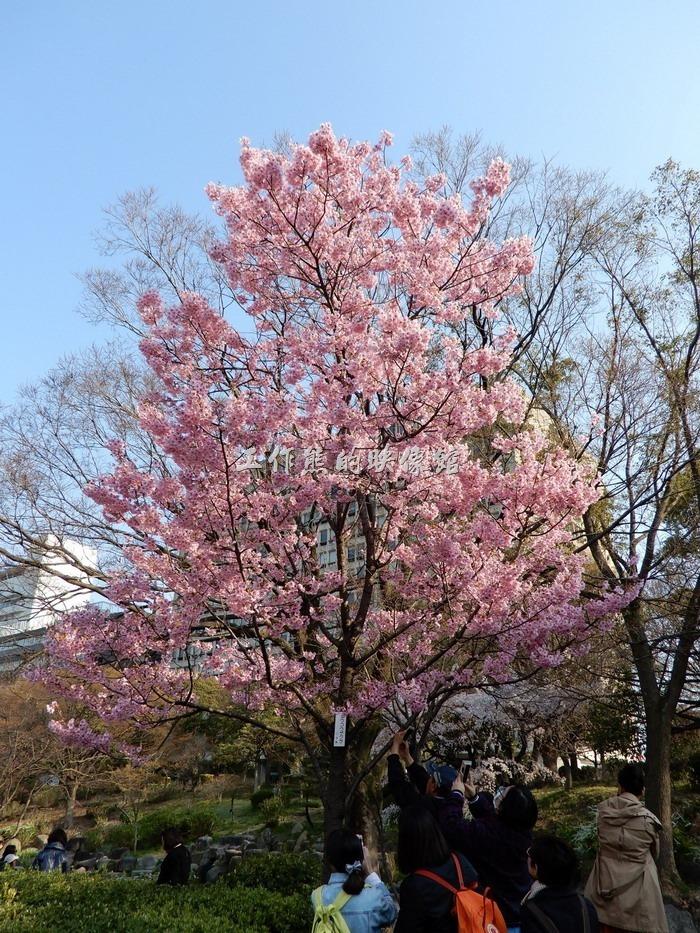 日本-大阪公園。桜色の桜!白とまた違ってこれもなかなか綺麗です!