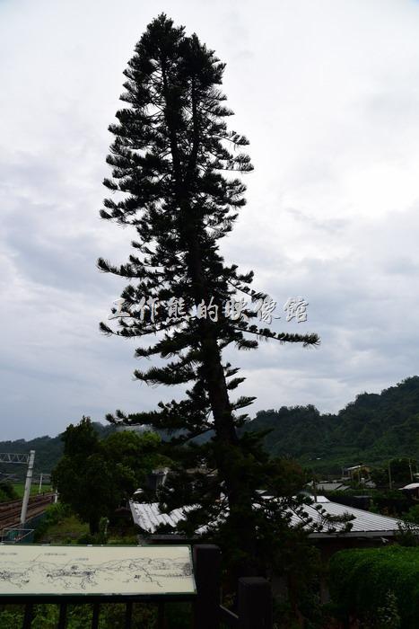 台東-山里車站觀賞台附近有一顆南洋杉。(2018/9/15:今天看新聞,這顆南洋杉居然被「山竹」颱風給吹倒了,所以這張照片已經變成歷史了)