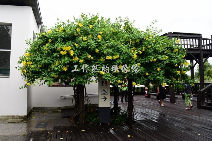 台東-山里火車站前有顆「軟枝黃蟬」,花開得蠻漂亮的。