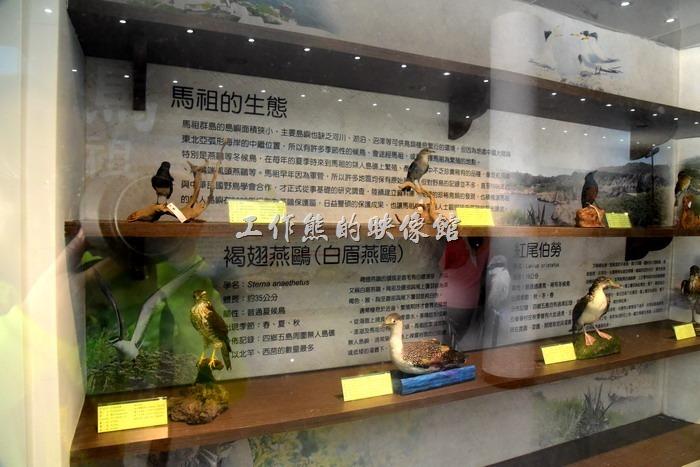 馬祖北竿-僑仔漁村展示館。馬祖鳥類的生態介紹:褐翅燕鷗、紅尾伯勞。