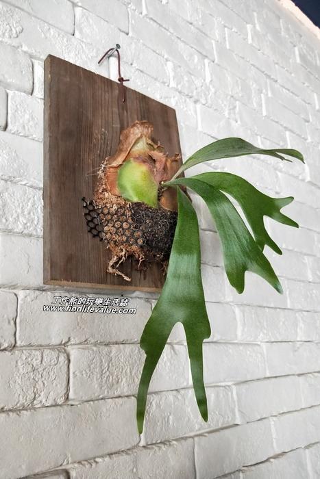 台南【豆弄.手做】咖啡早午餐。掛在牆上的「鹿角蕨」,聽說這植物很不好養,這裡的牆上養了兩株!